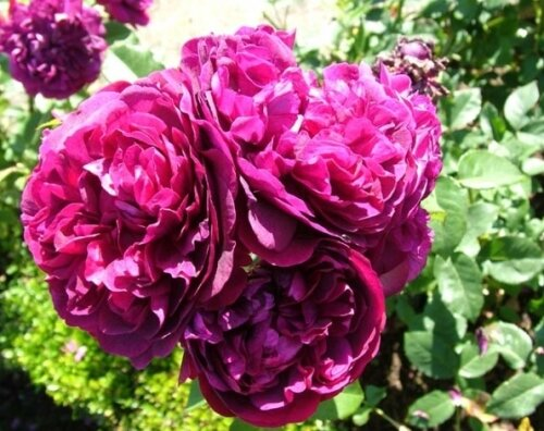 О розе дарси басселл (darcey bussell): характеристики сорта роз остина