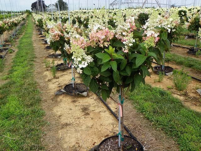 Гортензия древовидная — секреты посадки, ухода, размножения