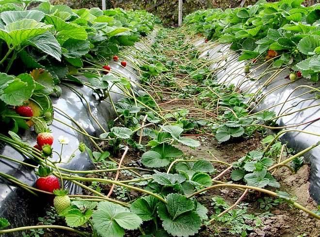 Узнайте несколько способов того, как рассадить клубнику