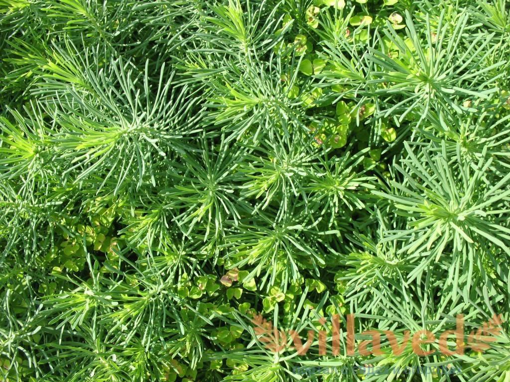 Можно ли кролику давать молочай: польза и вред, отличие этой травы от осота