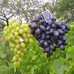 Опыление кустов винограда: способы искусственного опыления