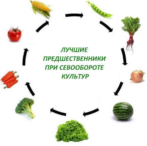 Грамотный севооборот: после чего можно сажать картофель?
