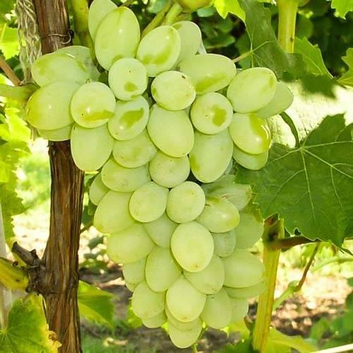 Виноград «восторг»: описание сорта, фото и характеристики