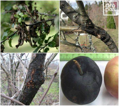 Почему на яблонях трескается кора и что с этим делать