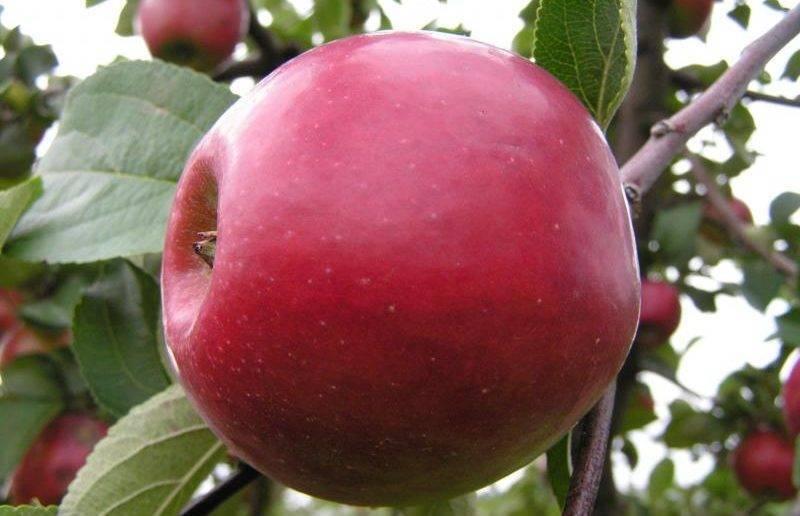 О яблоне Красное раннее: описание сорта, характеристики, агротехника