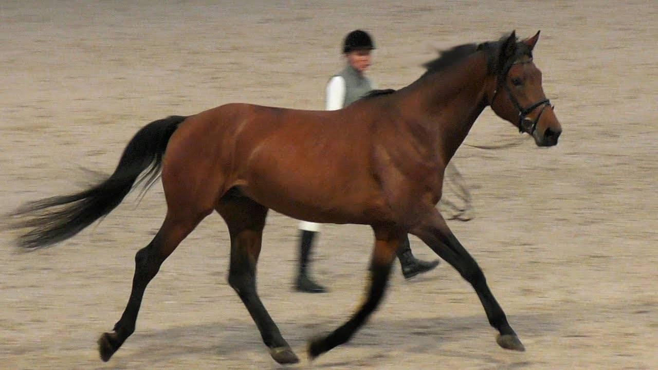 Обзор ганноверской породы лошадей