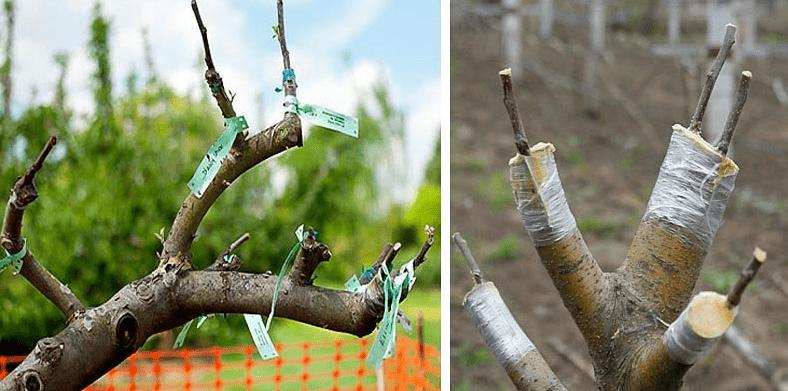 Правила прививки сортовой яблони на дичку: схема и последовательность работ