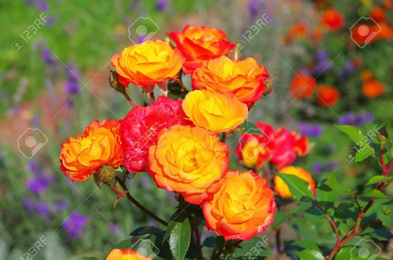 Выращивание розы румба