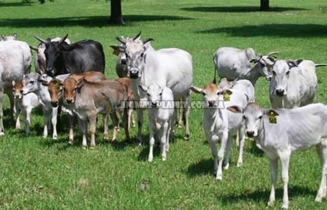 Карликовые козы – особенности миниатюрных пород 2020