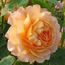 Роза ред ай