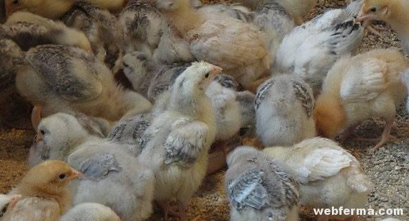 Выдающееся достижение птицеводов — куры породы мастер грэй
