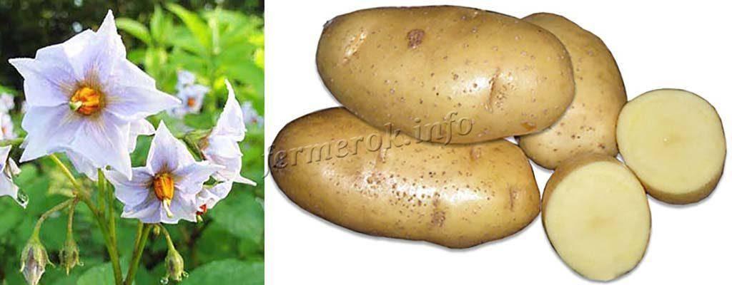Картофель скарб: 8 особенностей и 10 советов