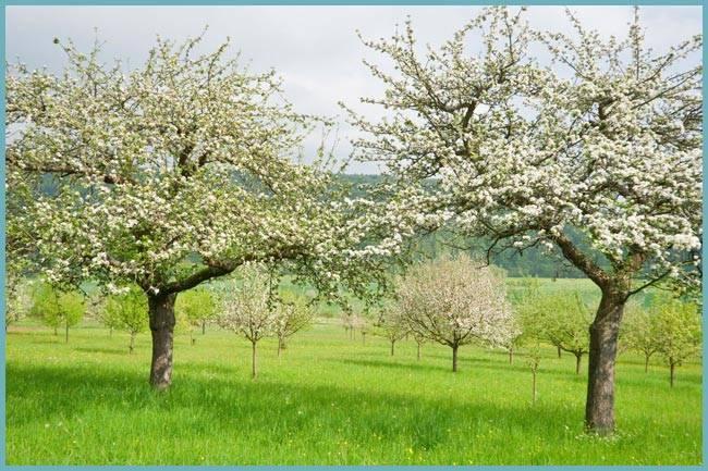 Обработка яблони после цветения от вредителей и болезней: чем опрыскивать весной