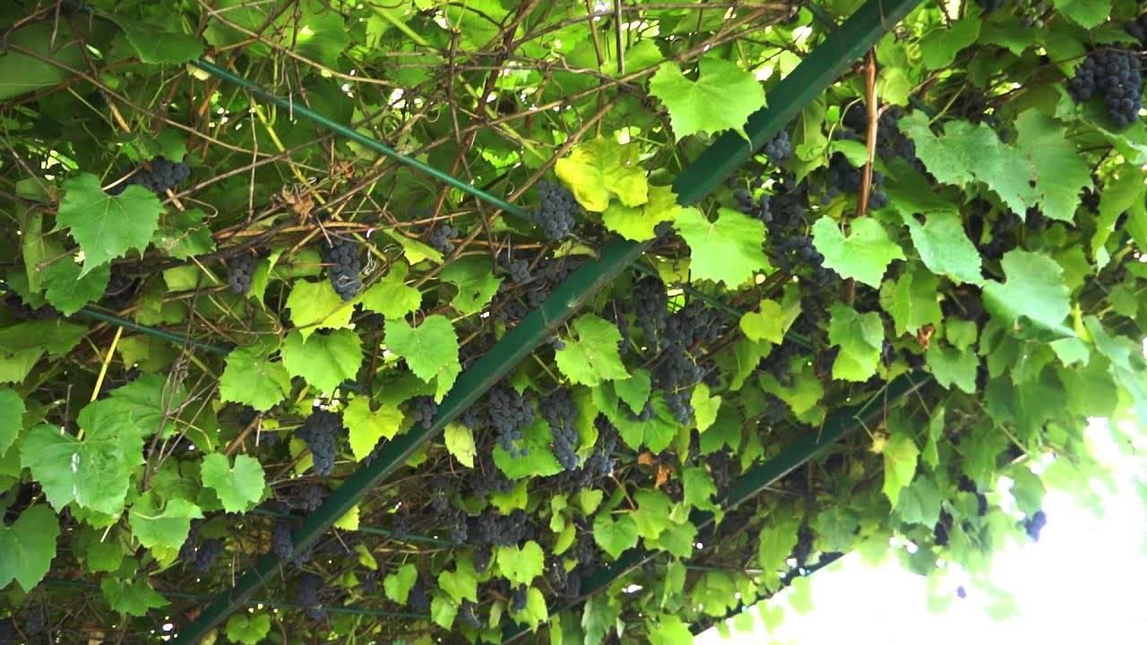 Виноград альфа характеристика сорта, описание достоинств и особенностей