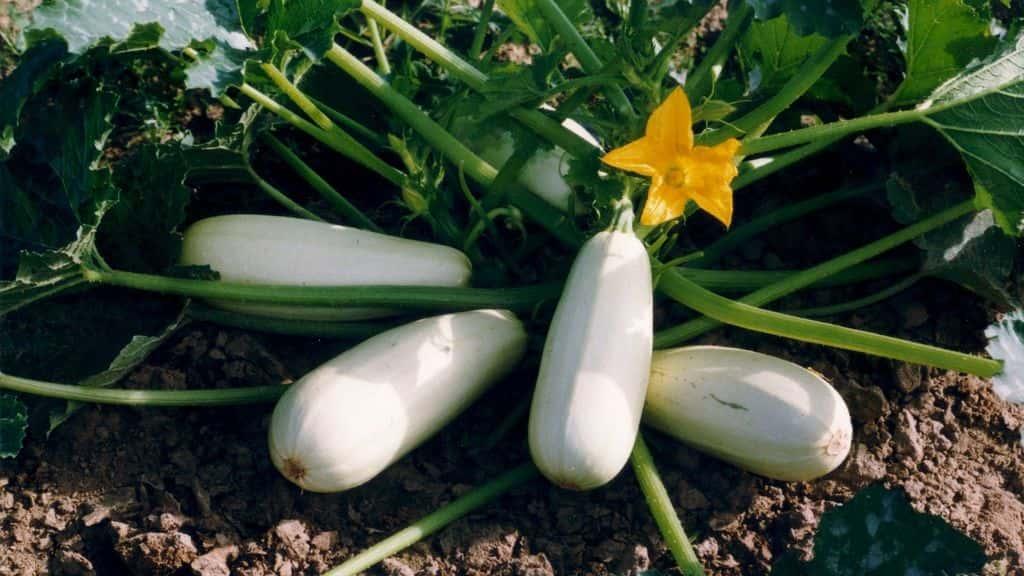 Как посадить кабачки и ухаживать за ними в открытом грунте?
