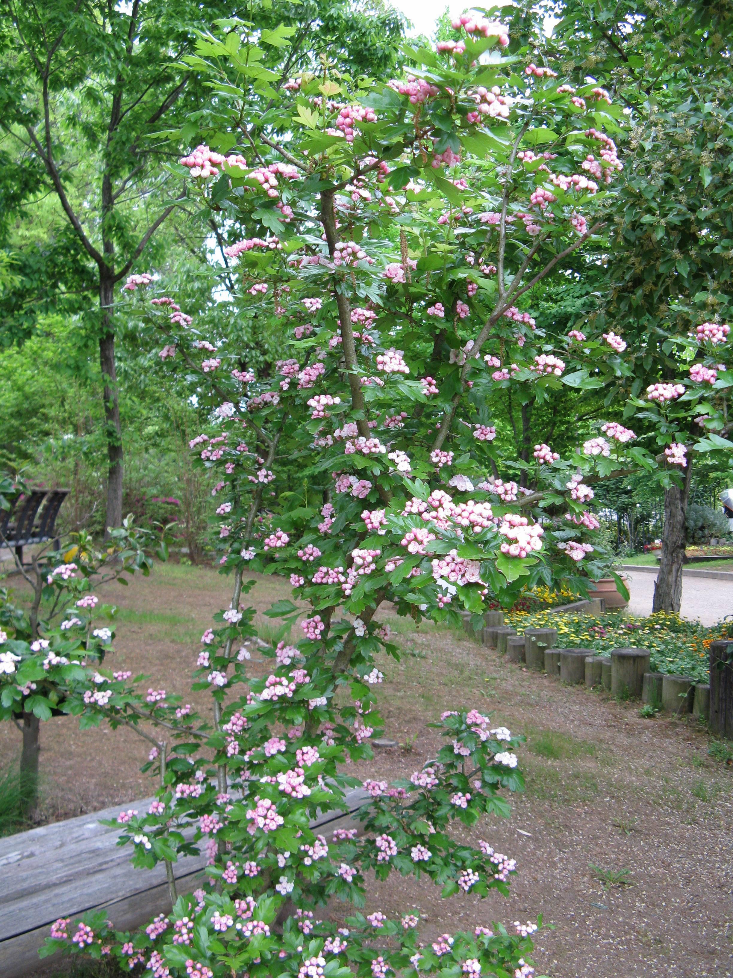 Боярышник - лиственные деревья и кустарники - декоративные деревья и кустарники - greeninfo.ru