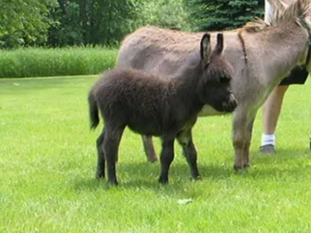 Мини-коровы: описание пород, особенности разведения