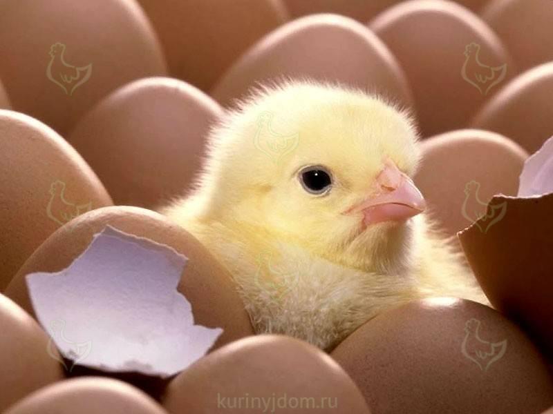 Надо ли как-то помогать цыплятам вылупляться в инкубаторе
