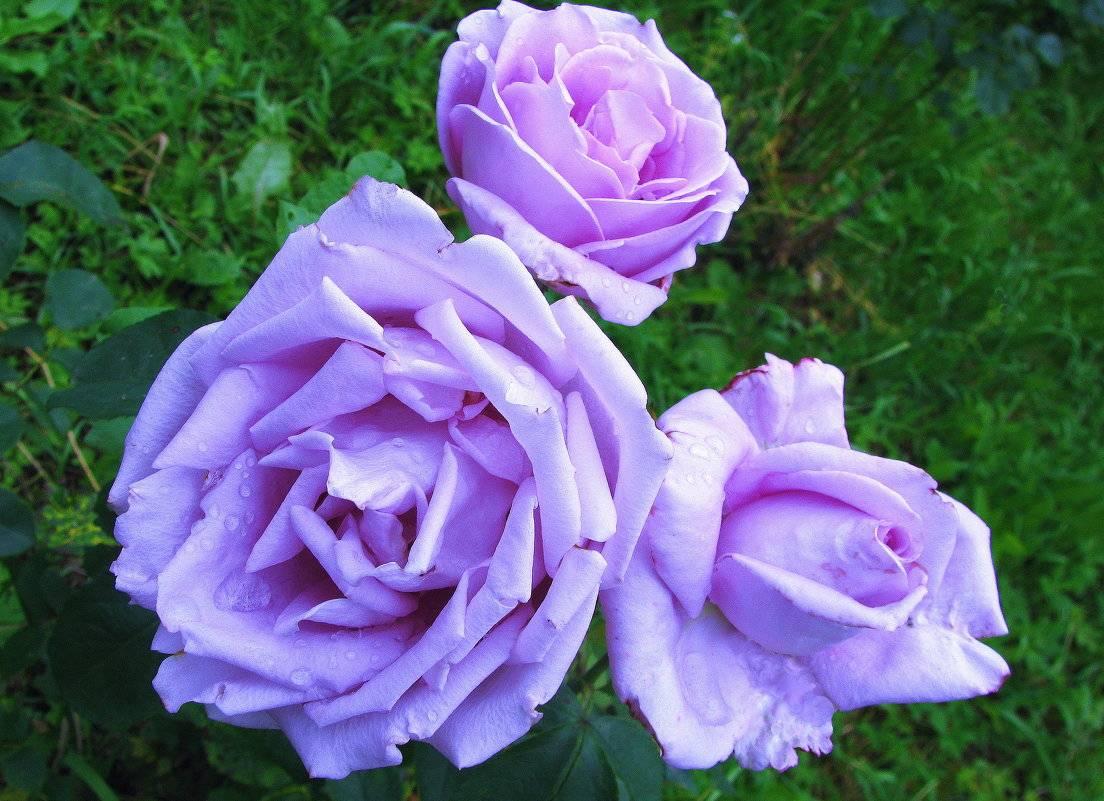 Роза чайно-гибридная осиана - описание сорта и условия агротехники | о розе