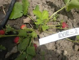 Земляника эви 2 описание сорта фото отзывы: ева браун клубника