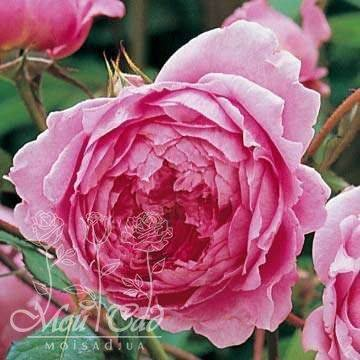 Роза алан сушон