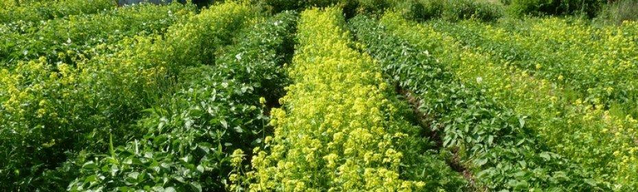 Увеличиваем урожай картофеля — лучшие сидераты для культуры. какой сидерат посадить после картофеля осенью и весной что лучше посеять после картофеля под зиму