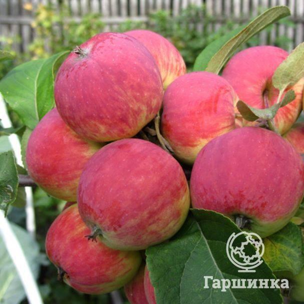Сорт яблони уралец – описание, фото