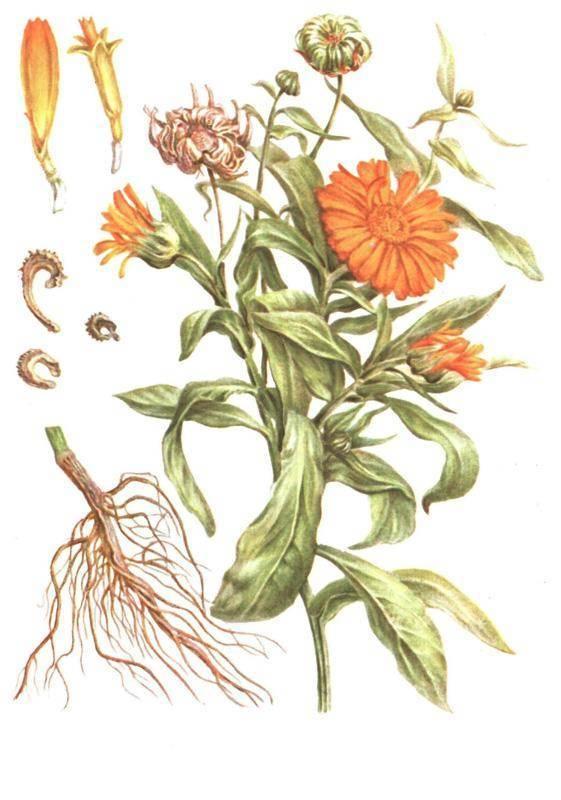 Сбор лекарственных трав, заготовка и их хранение