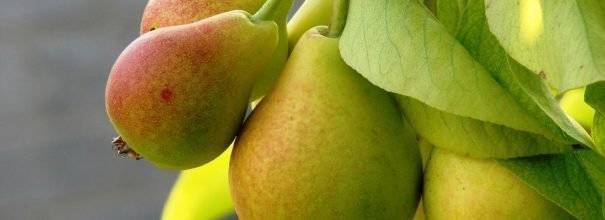 Сорт груши говерла: описание и характеристика, особенности успешного выращивания