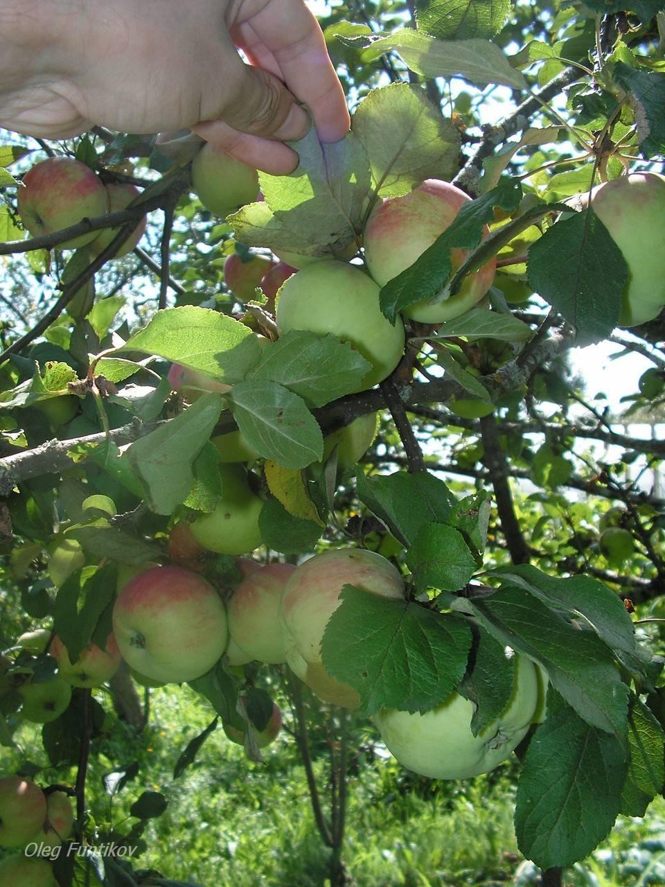Яблоня десертное исаева: отзывы садоводов и описание сорта с фото