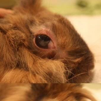Болезни глаз у кроликов - симптомы, лечение, препараты, причины появления | наши лучшие друзья