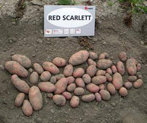 Сорт картофеля скарлет — отзывы. негативные, нейтральные и положительные отзывы