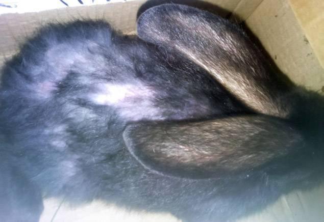 У кролика на спине перхоть ростов