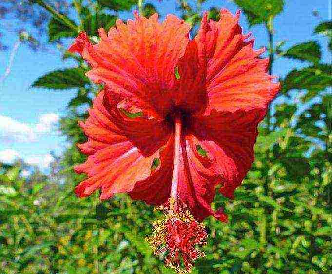 Гибискус краснолистный: выращивание из семян, уход