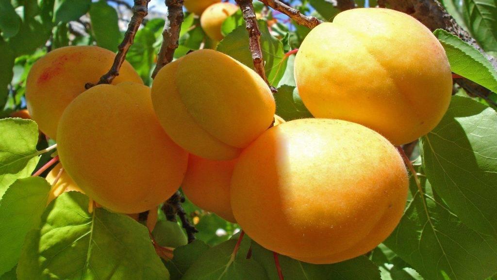Рейтинг лучших сортов абрикос – подробное описание с фотографиями