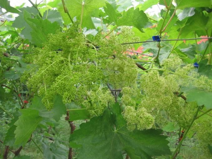 Цветение винограда чем улучшить завязь