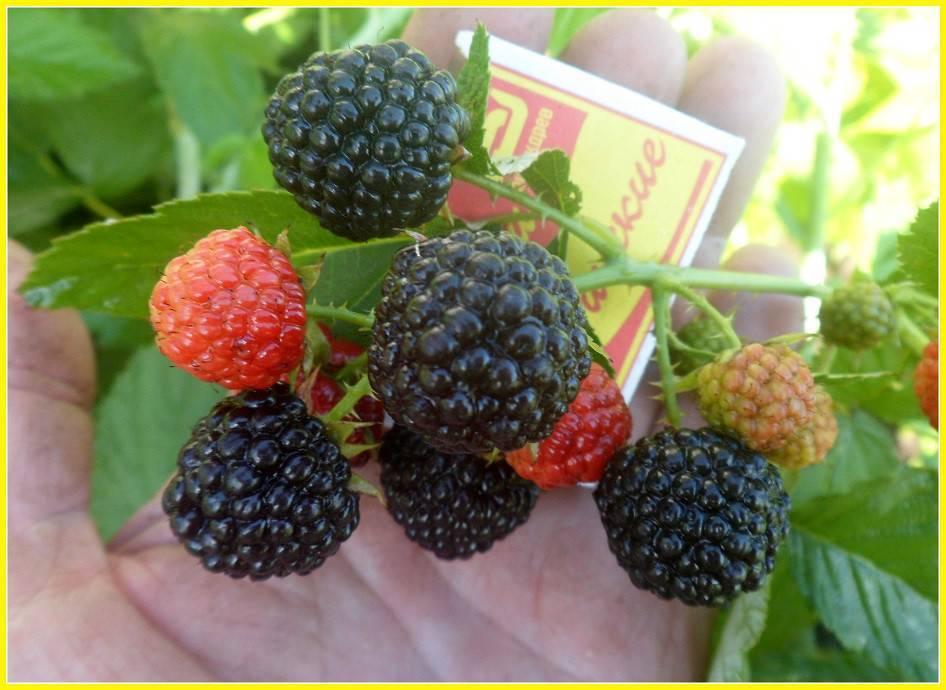 Топ-14 лучших сортов черной малины и рекомендации по выращиванию