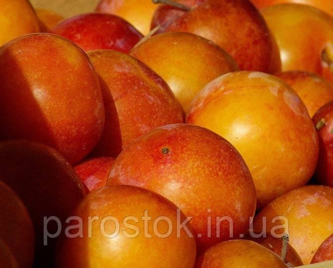 Слива скрещенная с персиком название