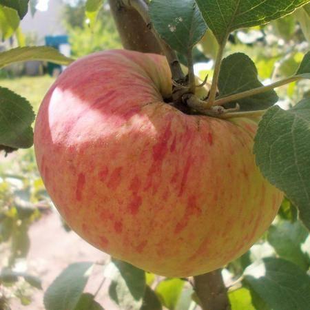 Витаминный чемпион — сорт яблок «кандиль орловский»
