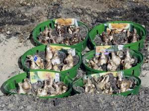О посадке нарциссов луковицами (когда можно сажать, на какую глубину)