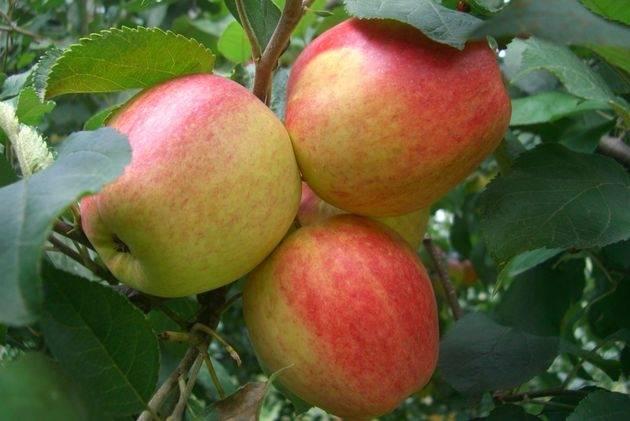 Сорт яблок пепин шафранный