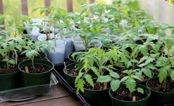 Побелели листья у рассады - запись пользователя анфиса (anfiska79) в сообществе сад, огород в категории виды заболеваний растительности и их обработка, лечение. - babyblog.ru