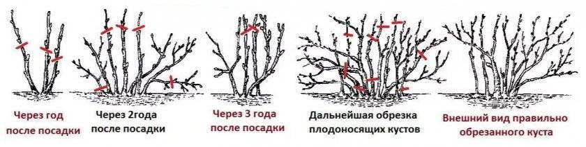 Как ухаживать за кустами чёрной смородины ранней весной