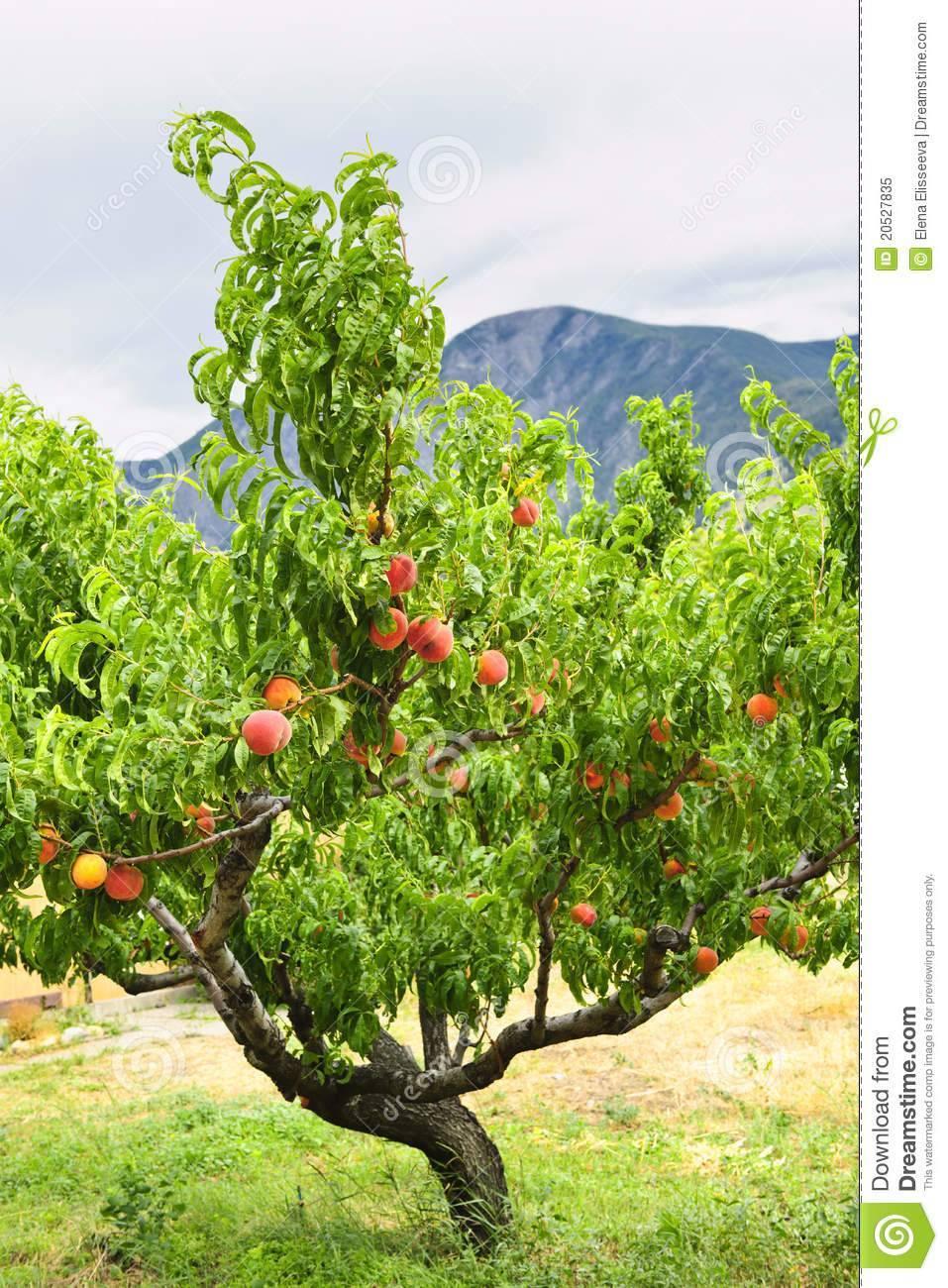 Как правильно посадить персик весной - видео   посадка персика из косточки, саженцем
