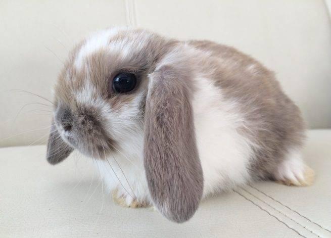 Кролики породы фландр: описание, особенности разведения и содержания в домашних условиях
