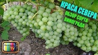 Описание морозостойких и урожайных сортов винограда для подмосковья