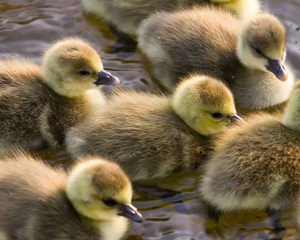 Энрофлон — эффективный антибиотик для курочек