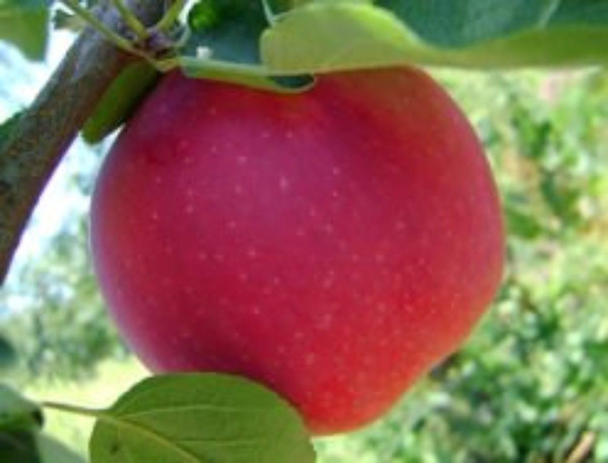 Вкусные и ароматны плоды подарит вам сорт яблонь пепин шафранный