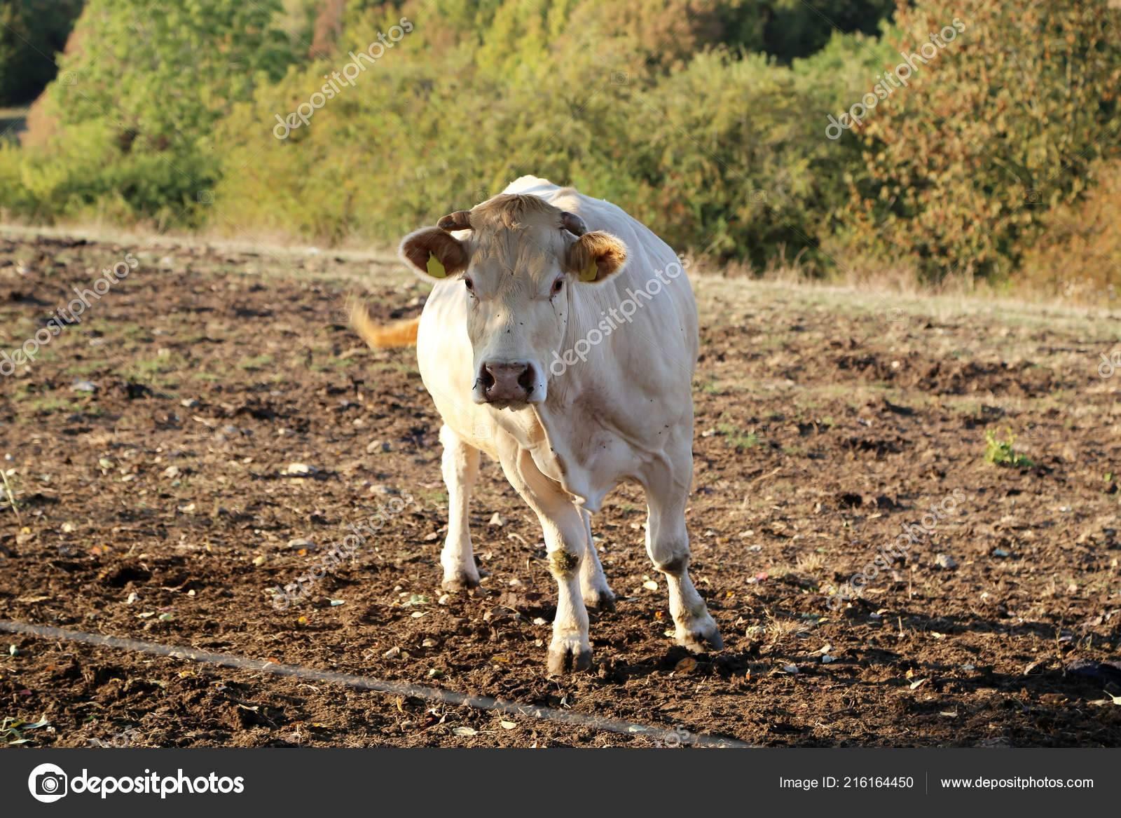 Корова ➨ описание, особенности питания, распространение, фото