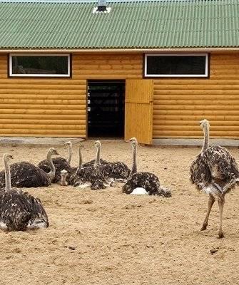 Разведение страусов в домашних условиях: содержание, уход, продуктивность